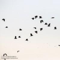 بازگشت پرندگان به تالاب هور العظیم | عکس
