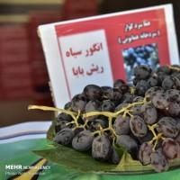 تاکستانهای «کوار» استان فارس | عکس