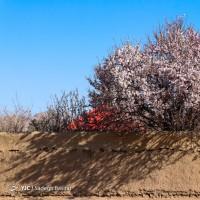 شکوفههای زیبای بهاری در شهرضا | عکس