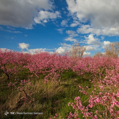 شکوفههای زیبای بهاری؛ سامان | عکس