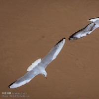 کارون میزبان پرندگان ماهی خوار | عکس