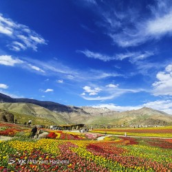 دشت لالههای لِزور | عکس