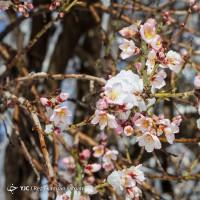 نشستن برف بر شکوفههای بادام | عکس