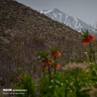 دشت لالههای واژگون منطقه سپیدان؛ فارس | عکس