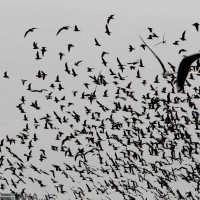 پرندگان مهاجر دریاچه چیتگر | عکس