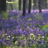 جنگل آبی، بلژیک | عکس