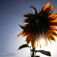 مزارع آفتابگردان؛ سنقر  | عکس
