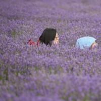 مزارع اسطوخودوس؛ انگلستان | عکس