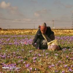 برداشت زعفران، خراسان شمالی | عکس