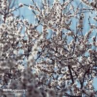 شکوفههای بهاری، همدان | عکس