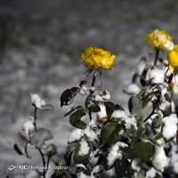 تبریز برفی | عکس