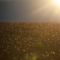 برداشت زعفران، یونان   عکس