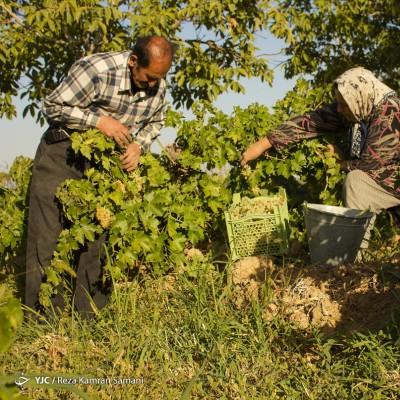 برداشت انگور؛ سامان | عکس