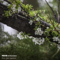 شکوفههای تهران | عکس