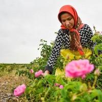 جشنواره گلابگیری؛ کاشان | عکس