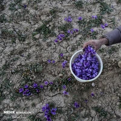 برداشت زعفران گلستان | عکس