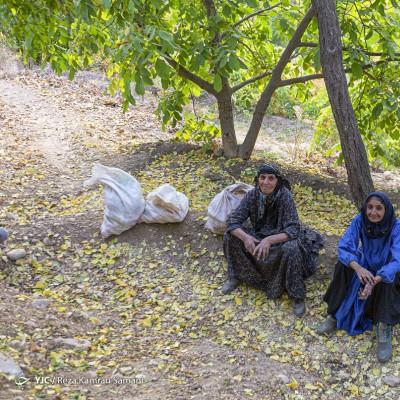 رب گیری انار در آیین سنتی «ناردُنگ» | عکس