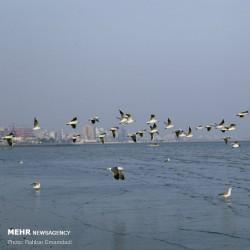 مرغان ماهی خوار سواحل بندرعباس | عکس