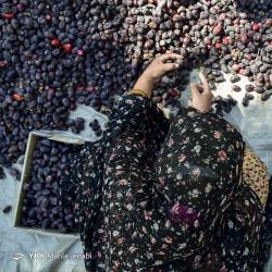 خرما چینان کویر | عکس