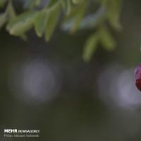برداشت عناب در بیرجند | عکس