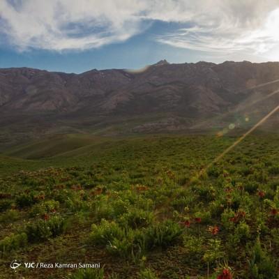 دشت لالههای واژگون؛ کوهرنگ | عکس