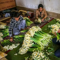 جشنواره برداشت گل نرگس در بهبهان | عکس