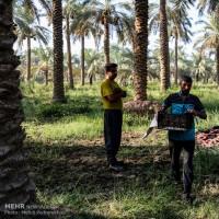 برداشت خرما و رطب در روستای ابودبس شهرستان کارون | عکس