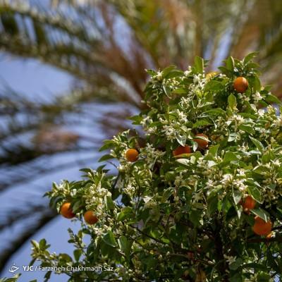 شمیم بهارنارنج در باغهای شیراز | عکس