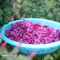 دشت های «گل گاوزبان » | عکس