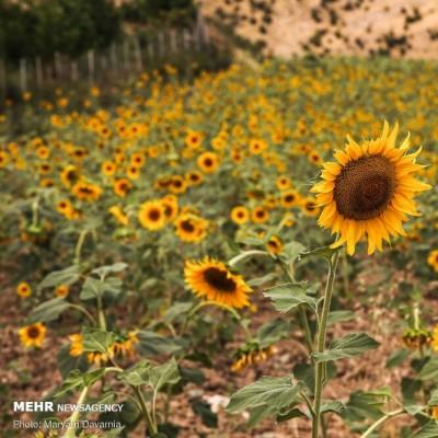 مزرعه آفتابگردان در خراسان شمالی | عکس