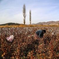 برداشت پنبه در خراسان شمالی | عکس
