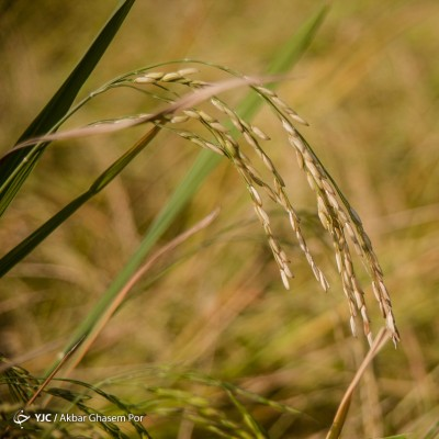 برداشت برنج در شالیزارهای مازندران | عکس