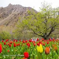 افتتاح باغ لالههای گچسر | عکس