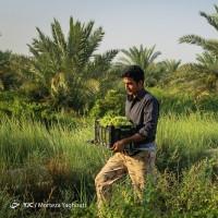 برداشت یاقوت سبز در کارون | عکس