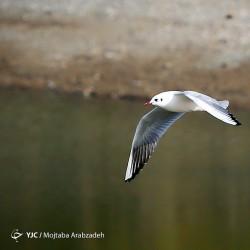 مهاجرت پرندگان به تالاب عشق آباد | عکس