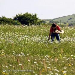 دشت گلهای بابونه | عکس