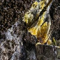 برداشت عسل وحشی | عکس
