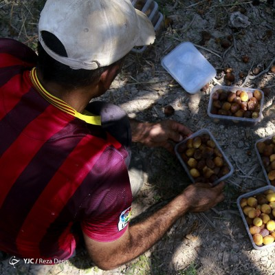 برداشت خارک و رطب از نخلستانهای آبادان | عکس