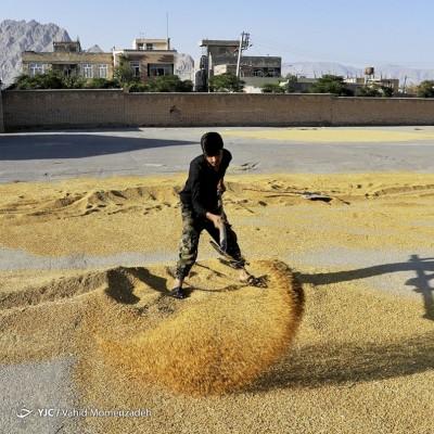 مزارع برنج؛ اصفهان | عکس
