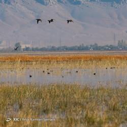 ورود پرندگان مهاجر به تالاب گندمان | عکس