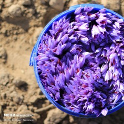 برداشت زعفران | عکس