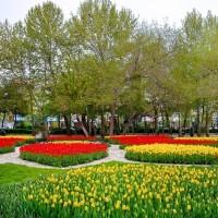 جشنواره گل لاله  | عکس