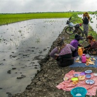 آغاز فصل نشاء برنج در مازندران | عکس