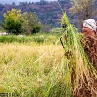 برداشت خوشههای برنج؛ گیلان | عکس