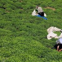برداشت چای بهاره از مزارع املش گیلان | عکس