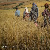 برداشت سنتی گندم | عکس