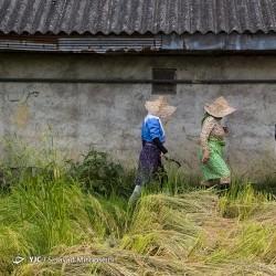 برداشت برنج در شالیزارهای گیلان | عکس