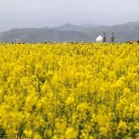 مزارع دانه روغنی «کلزا»، خراسان شمالی | عکس