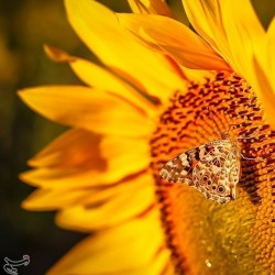 مزرعه آفتابگردان، شیروان | عکس