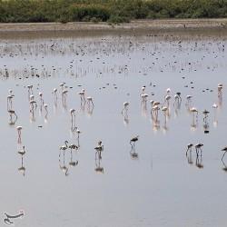 حضور بیش از چهل هزار فلامینگو در پارک ملی دریاچه ارومیه | عکس